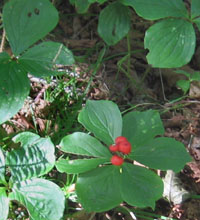 Cornus canadensis, bunchberry in Cape Breton.  Photo by Stibolt