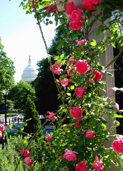 Roses provide an appropriate foreground for the US Capitol Building.  Photo by Stibolt