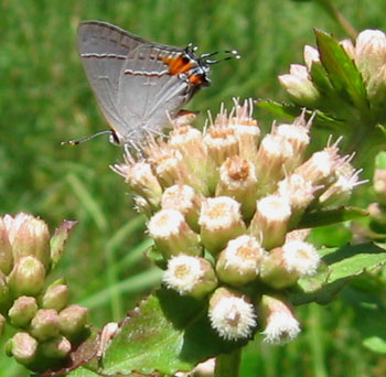 Gray Hairstreak butterfly on a stinking fleabane.  Photo by Stibolt.