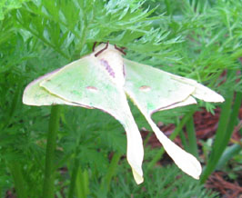 A luna moth clings to Ginny's carrots for a day.  Photo by Stibolt