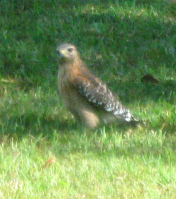 This red-shouldered hawk in Ginny's lawn will capture a mole a minute later.  Photo by Stibolt.