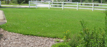 Ginny's freedom lawn after 5 years of no chemicals.  Photo by Stibolt