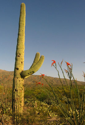 Saguaro Catus and Ocatillo.  Photo by Stibolt