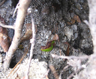 Closeup of the yellow jacket nest. Photo by Stibolt.