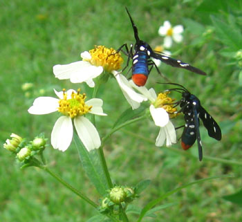 A trio of polk-dot wasp moths gather on the beggarticks.  Photo by Stibolt.