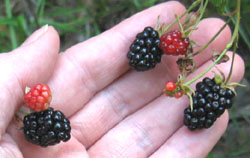 Blackberries in Ginny's front meadow.  Photo by Stibolt