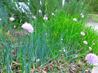 Chives and toadflax in Ginny's herb garden are decked out in their Easter lavenders. Photo by Stibolt