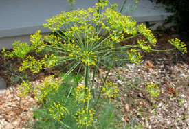 Dill flower heads are 14 inches across.  Photo by Stibolt