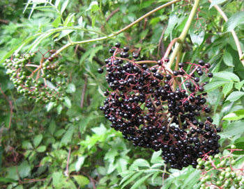 Ripe elderberries in Ginny's back meadow.  Photo by Stibolt.