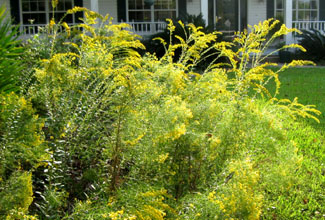 Both flat-topped and regular goldenrods have volunteered in our front beds and in our sunny meadows.  Photo by Stibolt