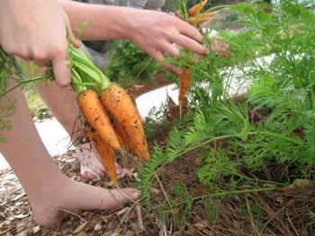 Ginny's grandkids harvest some carrots and turnips on Christmas Day.  Photo by Stibolt