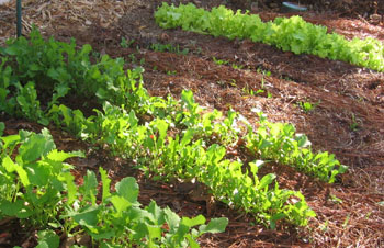 Winter crops in Ginny's garden--Turnips, arugula, spinach, and lettuce. Photo by Stibolt.