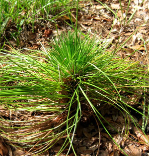 New growth on Ginny's longleaf pine. Photo by Stibolt