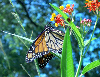 Monarch butterfly on a scalet milkweed.  Photo by Stibolt