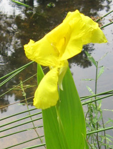 Florida native canna lily growing next to Ginny's pond.  Photo by Stibolt