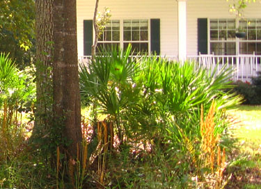 Palmettos grace Ginny's front yard. Photo by Stibolt