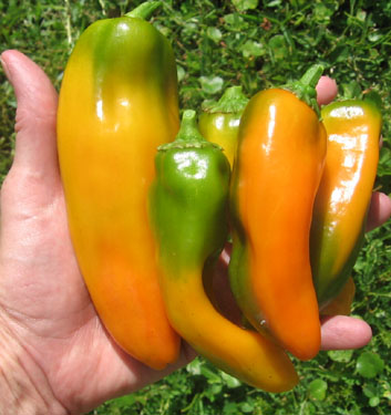 Burpee's Big Daddy peppers.  Beautiful and tasty.