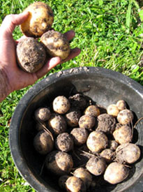 Potatoes from Ginny's garden.  Photo by Stibolt