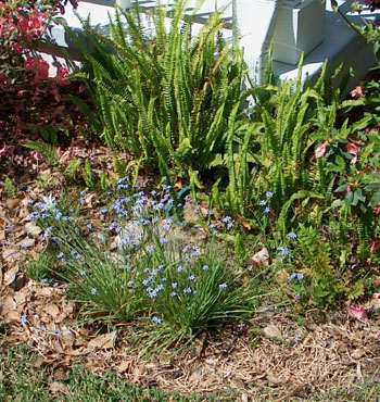The same downspout rain garden a year later with blooming rain lilies and 