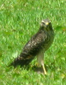 Immature red-shouldered hawk on our lawn.  Photo by Stibolt
