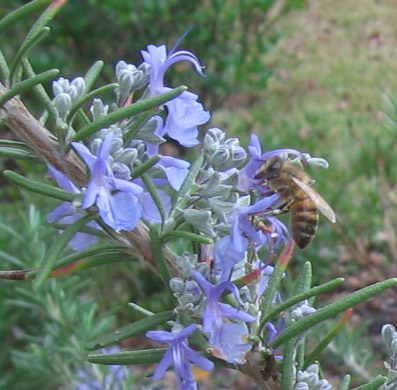 A honey bee works the rosemary flowers.