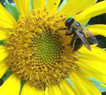 Carpenter bee on sunflower. Photo by Stibolt