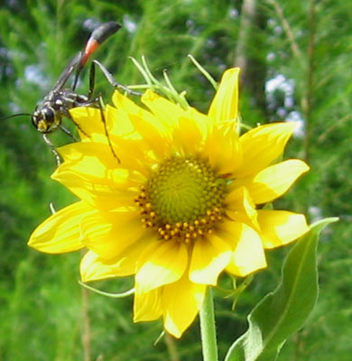 A wasp on the Maximillian's sunflower.  Photo by Stibolt