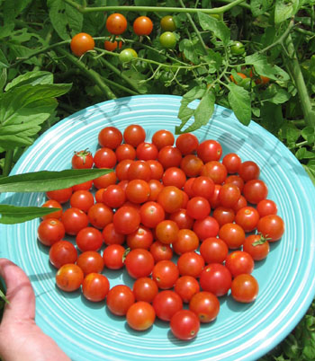 Sweet 100 cherry tomatoes provide quite a crop.  Photo by Stibolt