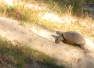 A gopher tortoise at Jacksonville Arboretum.  Photo by Stibolt