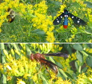 Some of the insects on the goldenrods this week. Photo by Stibolt