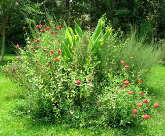 Zinnia rich island in the back yard.  Photo by Stibolt