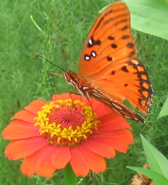 A gulf fritillary sips from a matching zinnia. Photo by Ginny Stibolt